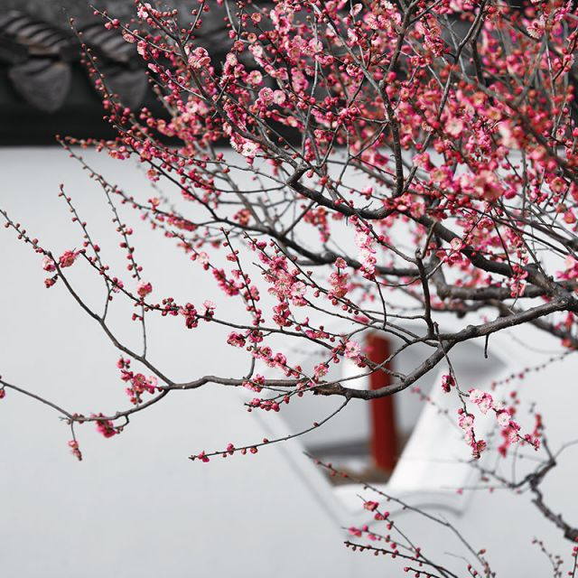 Plum Blossom City Flower Auspicious